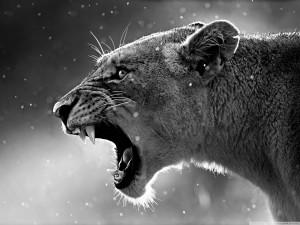 lioness_3-wallpaper-1280x960